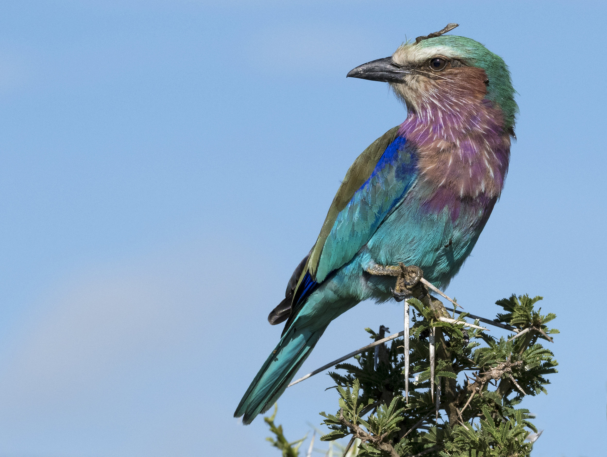 lilac-breasted roller-2.jpg