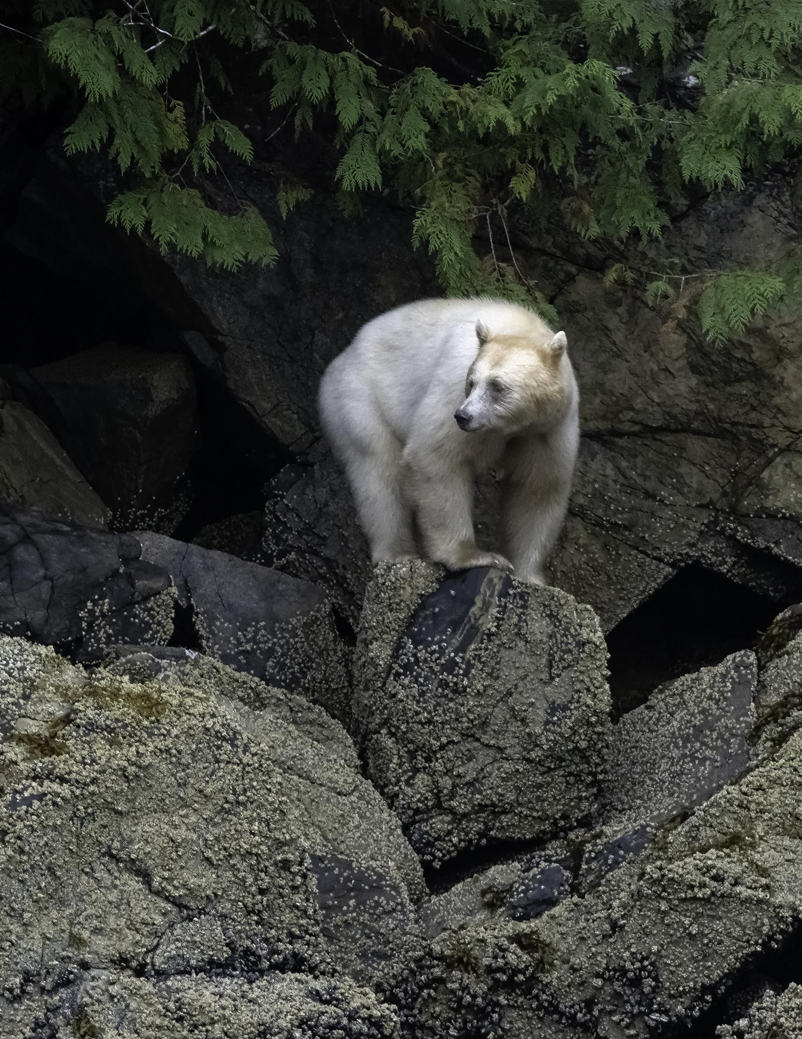 spirit bear_2.jpg