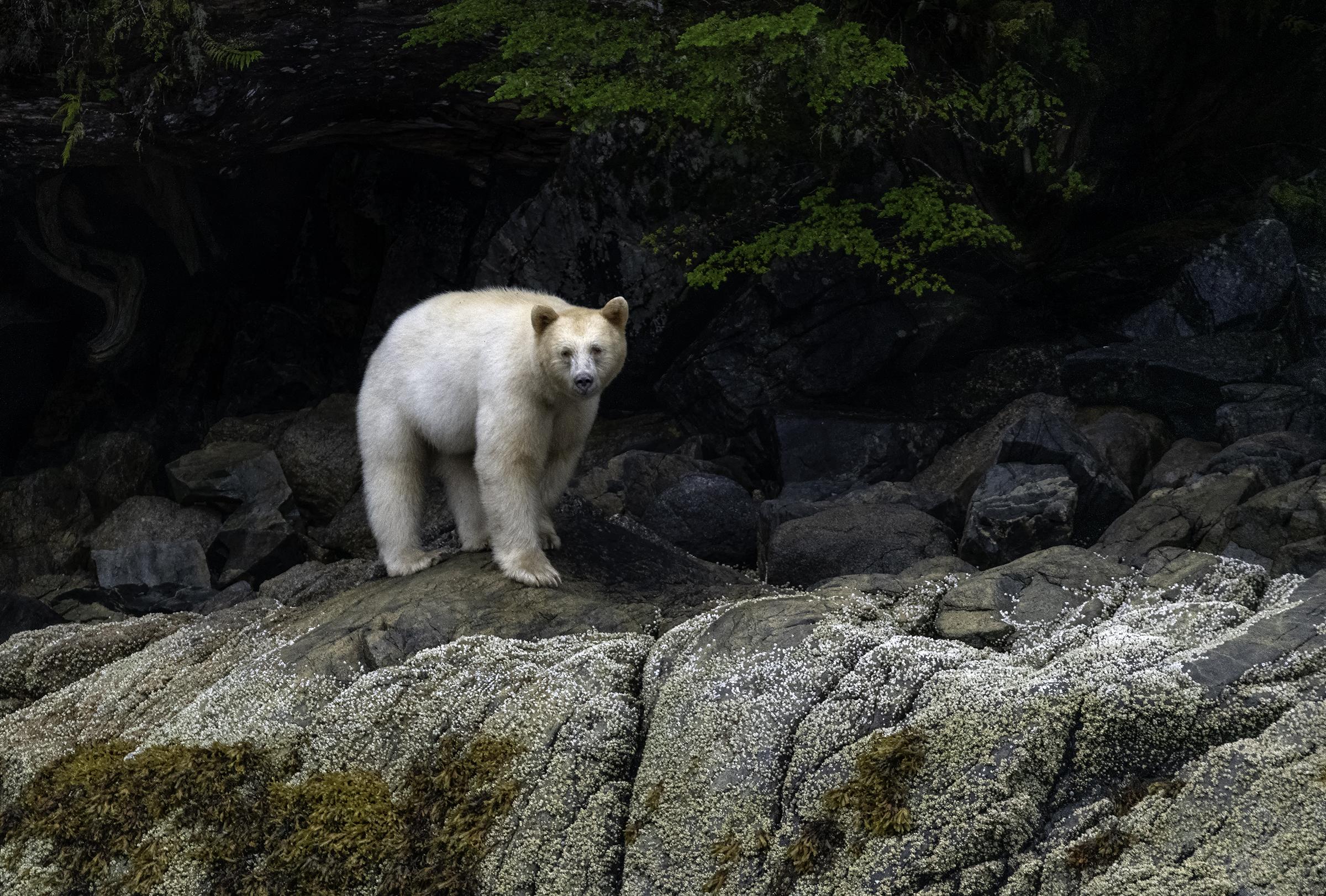 spirit bear_1.jpg