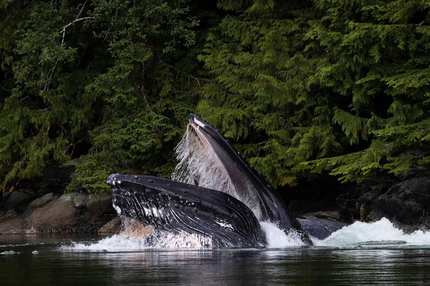 whale-bubble-net-feeding-042.jpg