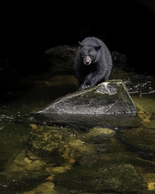 black bear at spirit bear lodge.jpg