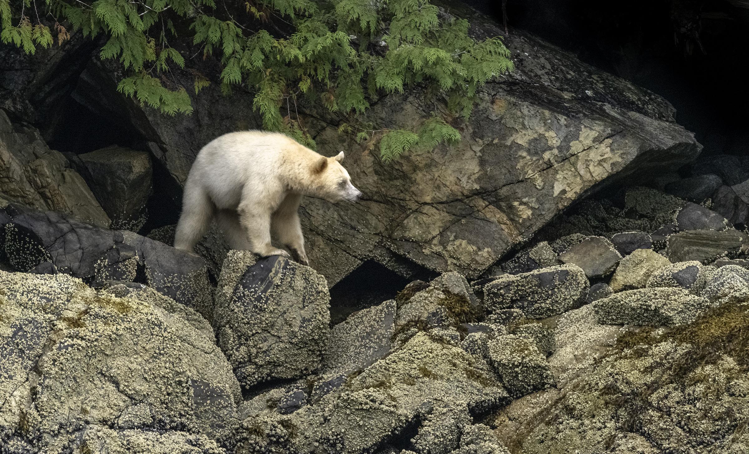 spirit bear3.jpg