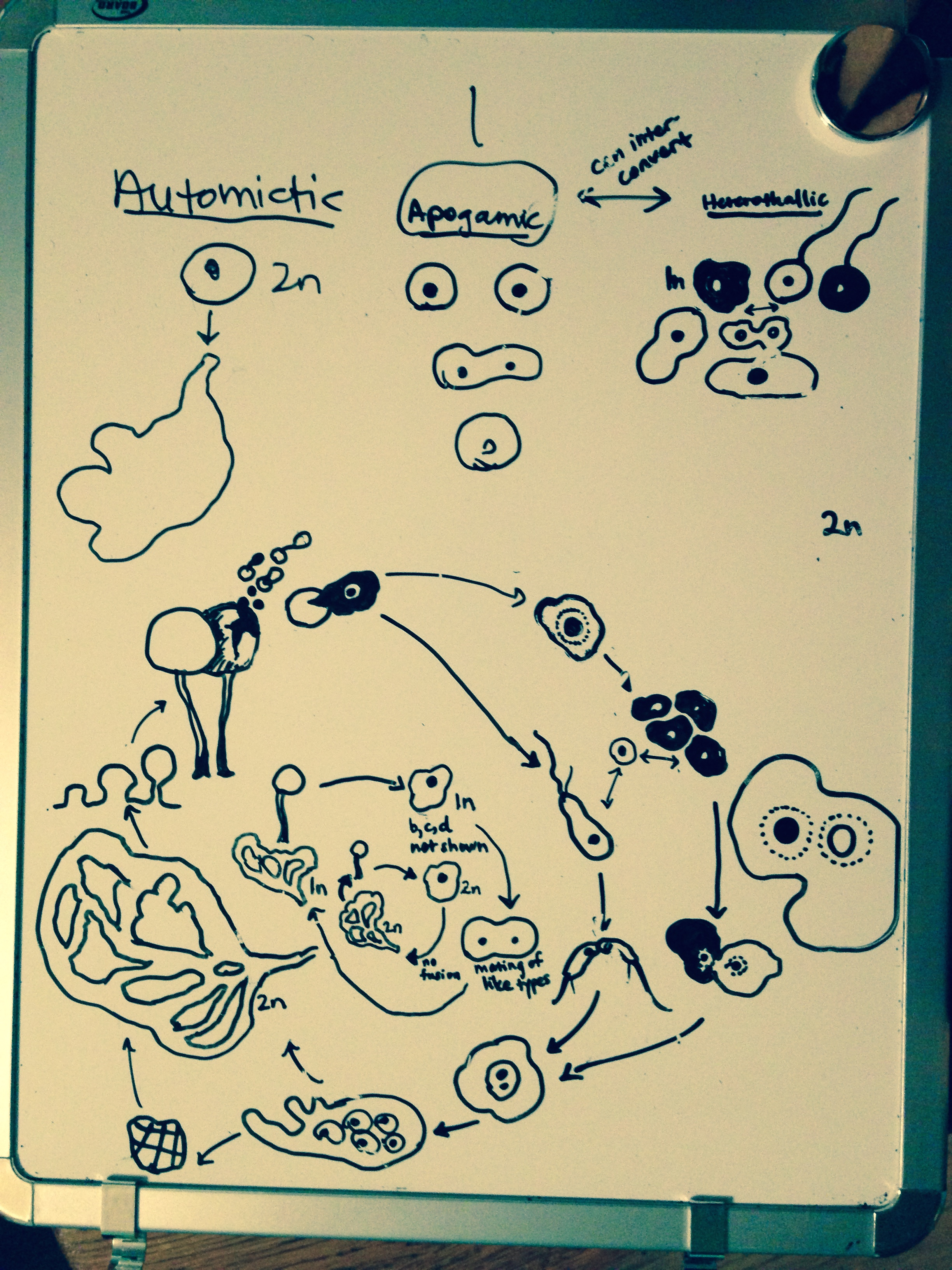 Slime Mold Life Cycle concept sketch, presented via Skype to my friend / biologist Laura Walker.