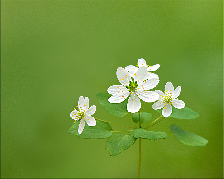 Rue-anemone  Thalictrum thalictroides  4-8 inches