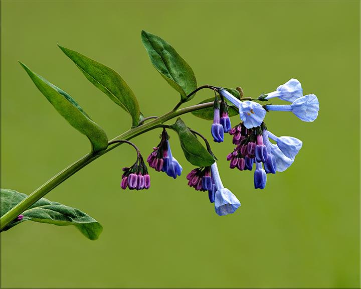 Virginia Bluebell  Mertensia virginica  12-24 inches