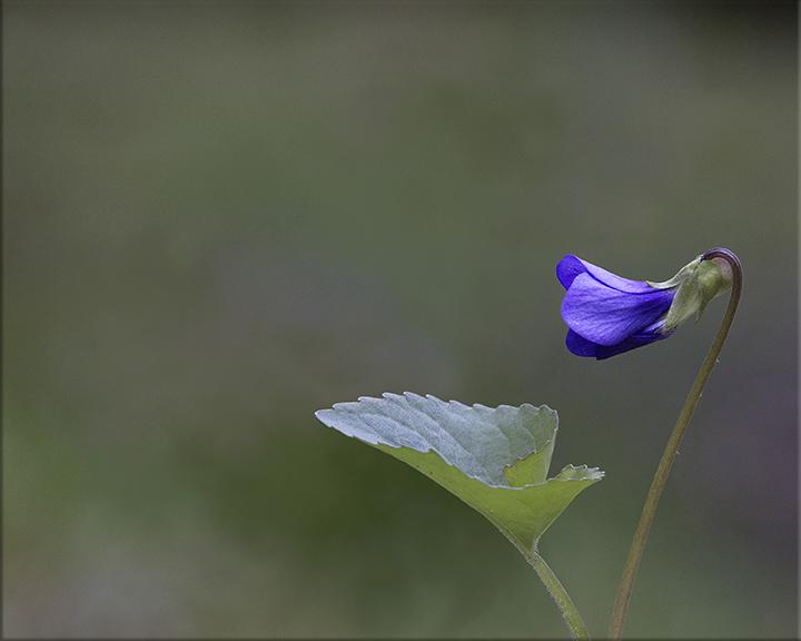 Common Blue Violet  Viola sororia  3-8 inches