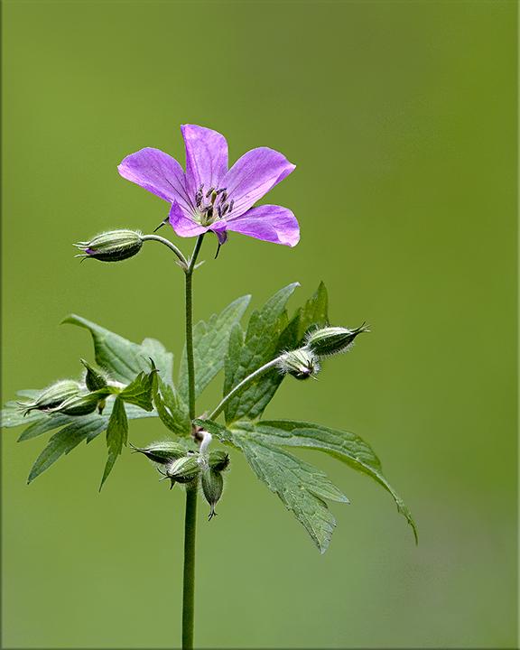 Wild Geranium  Geranium maculatum  12-24 inches