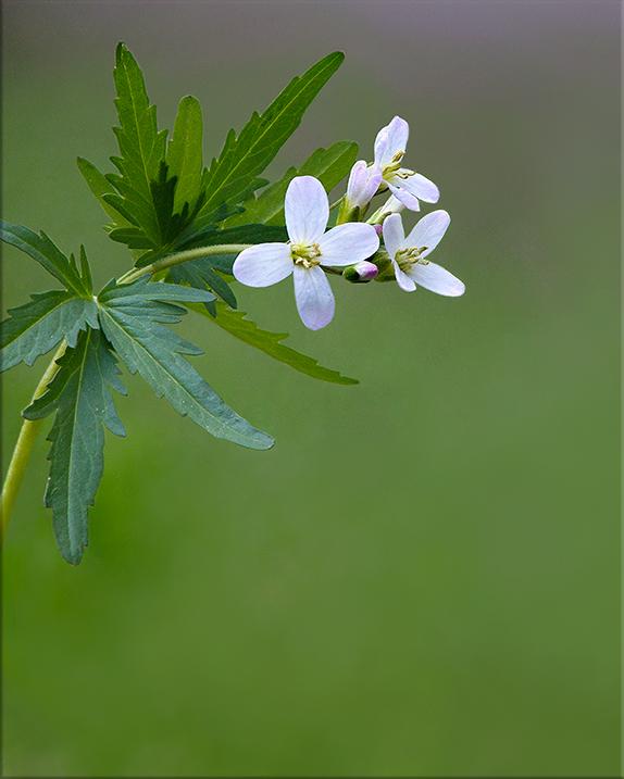 Cut-leaf Toothwort  Cardamine concatenata  8-15 inches