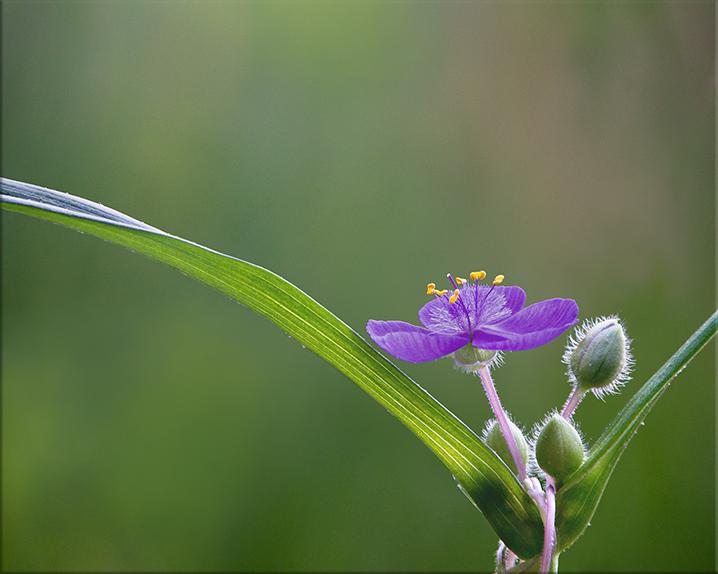 Virginia Spiderwort  Tradescantia virginians  1.5-3 feet
