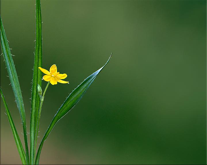 Yellow Stargrass  Hypoxis hirsuta  1-6 inches