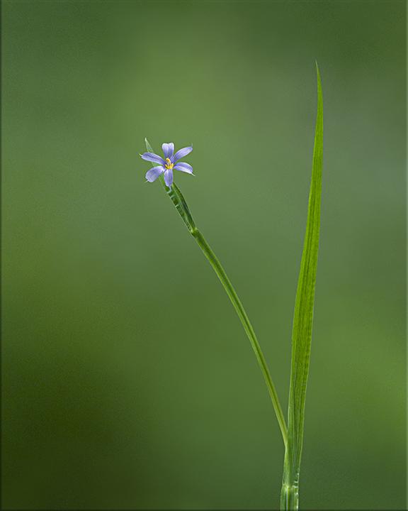 Blue-eyed Grass  Sisyrinchium angustifolium  4-24 inches
