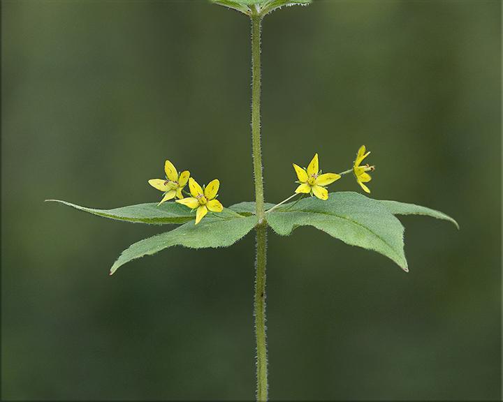 Whorled Loosestrife  Lysimachia quadrifolia  1-3 feet