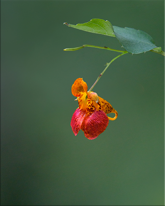Spotted Jewelweed  Impatiens capensis  2-5 feet