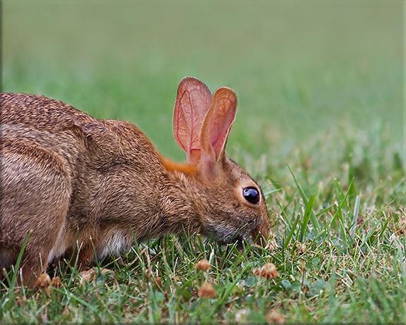 Eastern cottontail rabbit  Sylvilagus floridanus