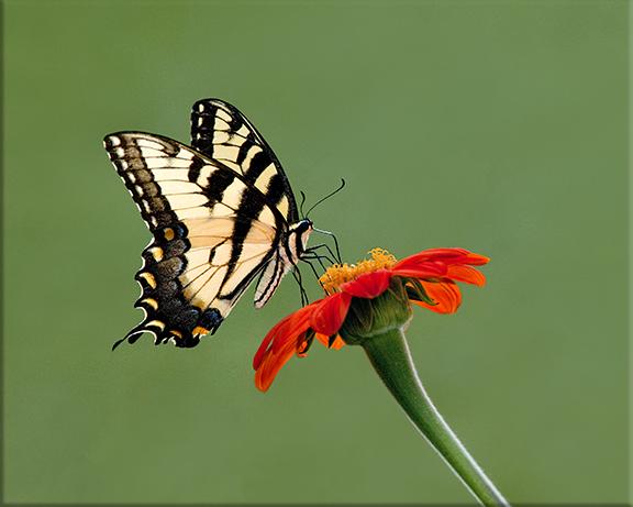 Tiger swallowtail  Papilio glaucas