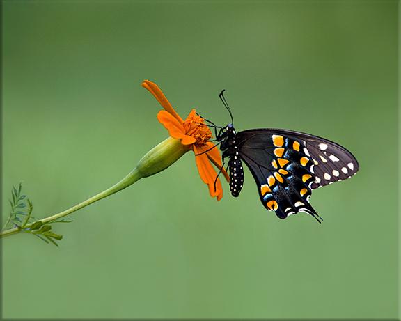 Eastern black swallowtail  Papilio polyxenes