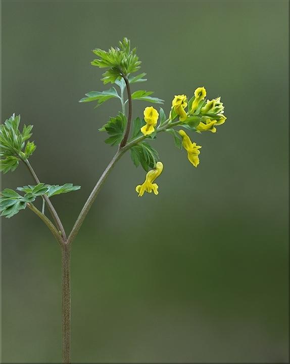 Yellow Fumewort  Corydalis flavula  6-16 inches