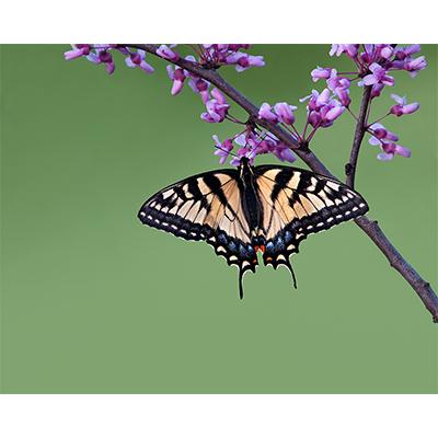 TigerSwallowtail.jpg