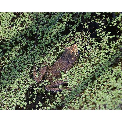 BullfrogSwimming.jpg