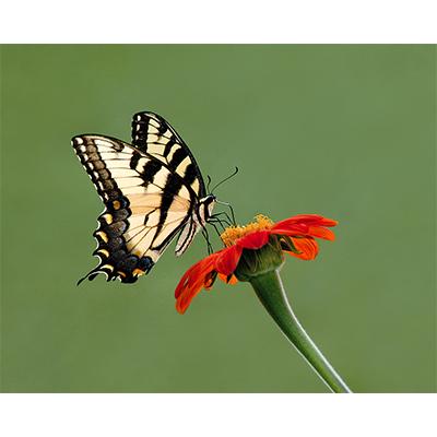 TigerSwallowtail2.jpg