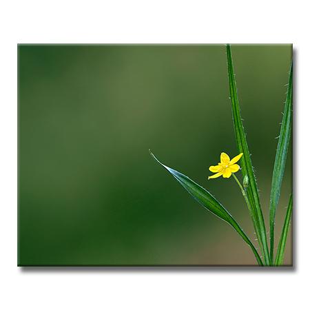 YellowStargrass.jpg