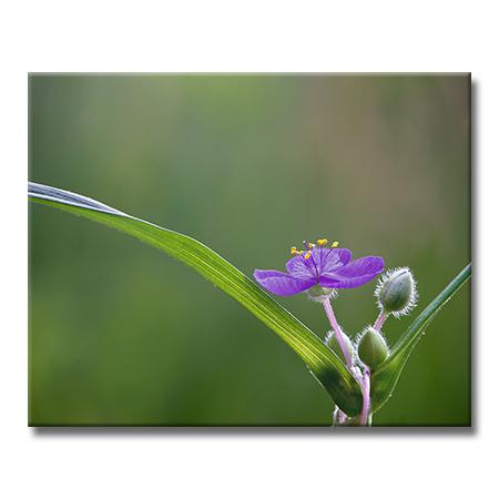 Spiderwort.jpg