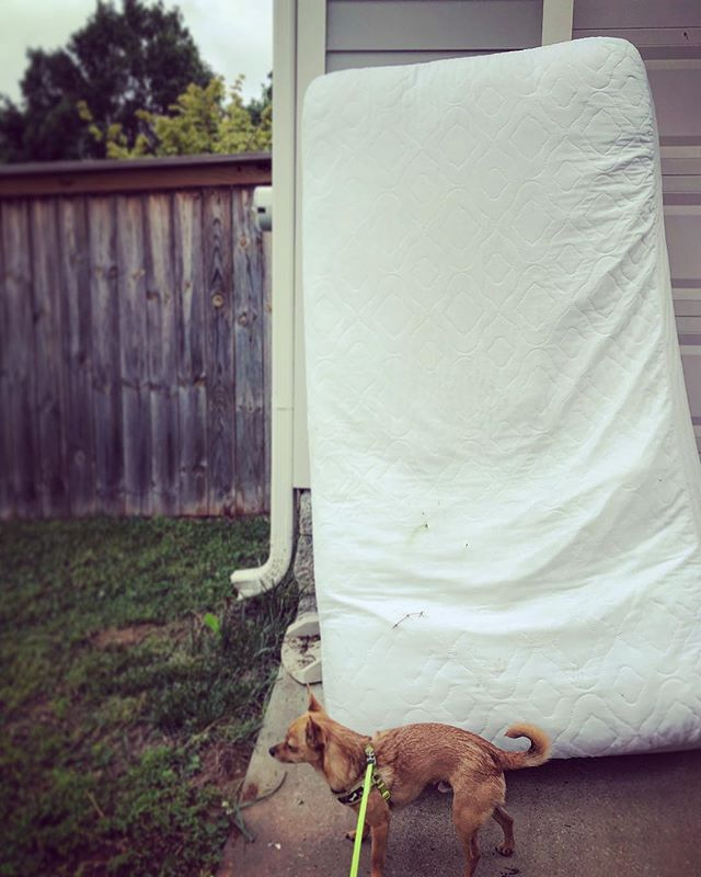 Jack by a mattress. #chihuahua