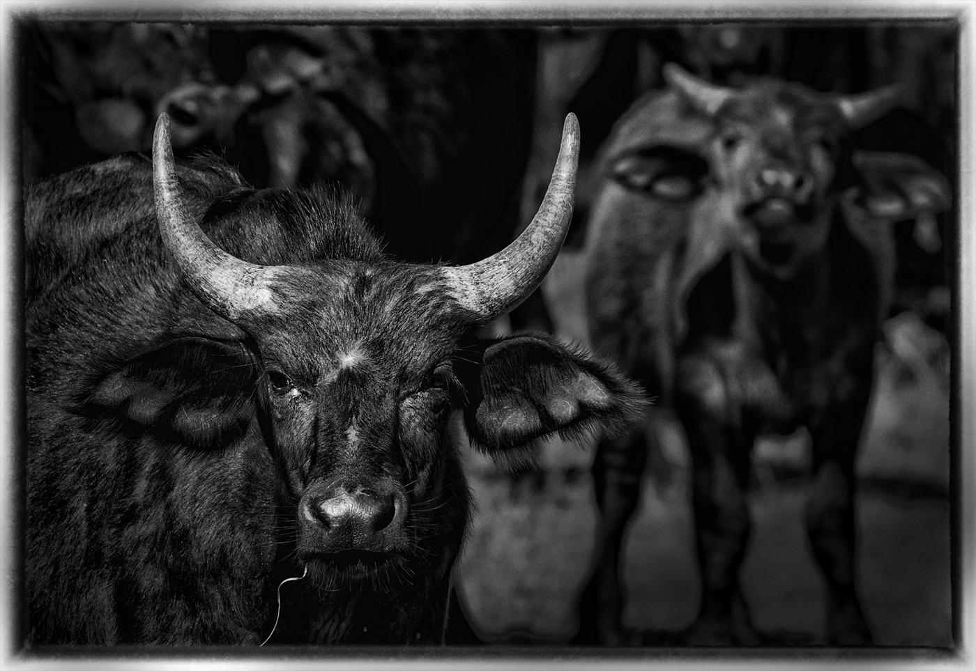 Cape Buffalo, Satara, Kruger National Park.