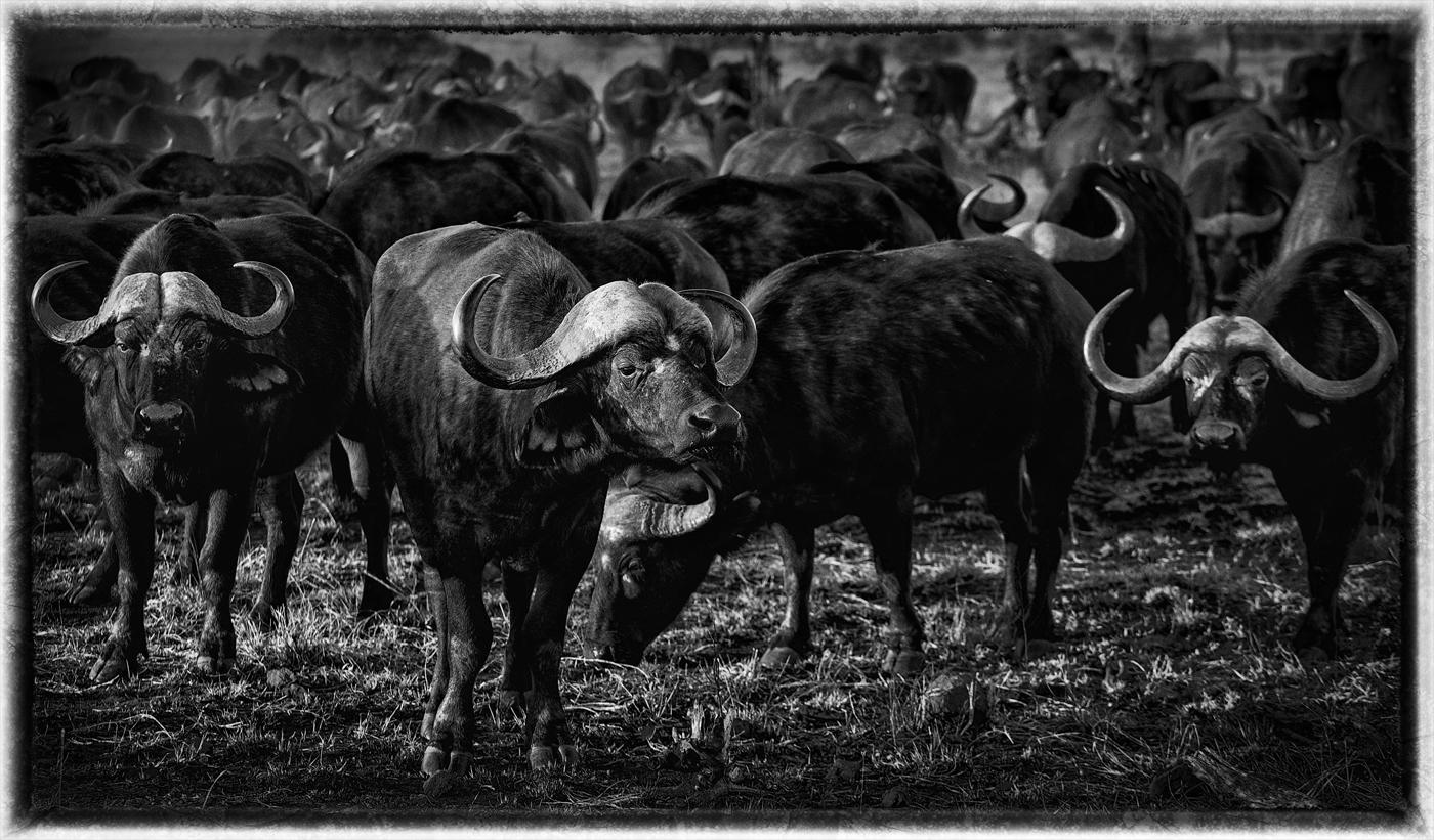 Hard Cape Buffalo, Satara, Kruger National Park