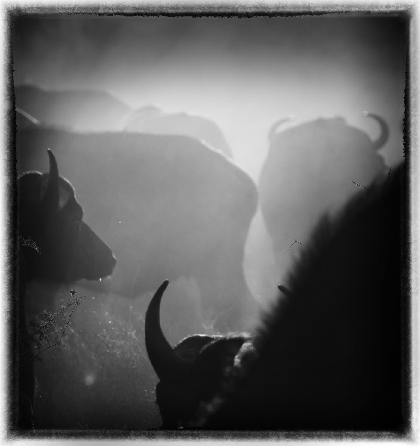Buffalo & dust