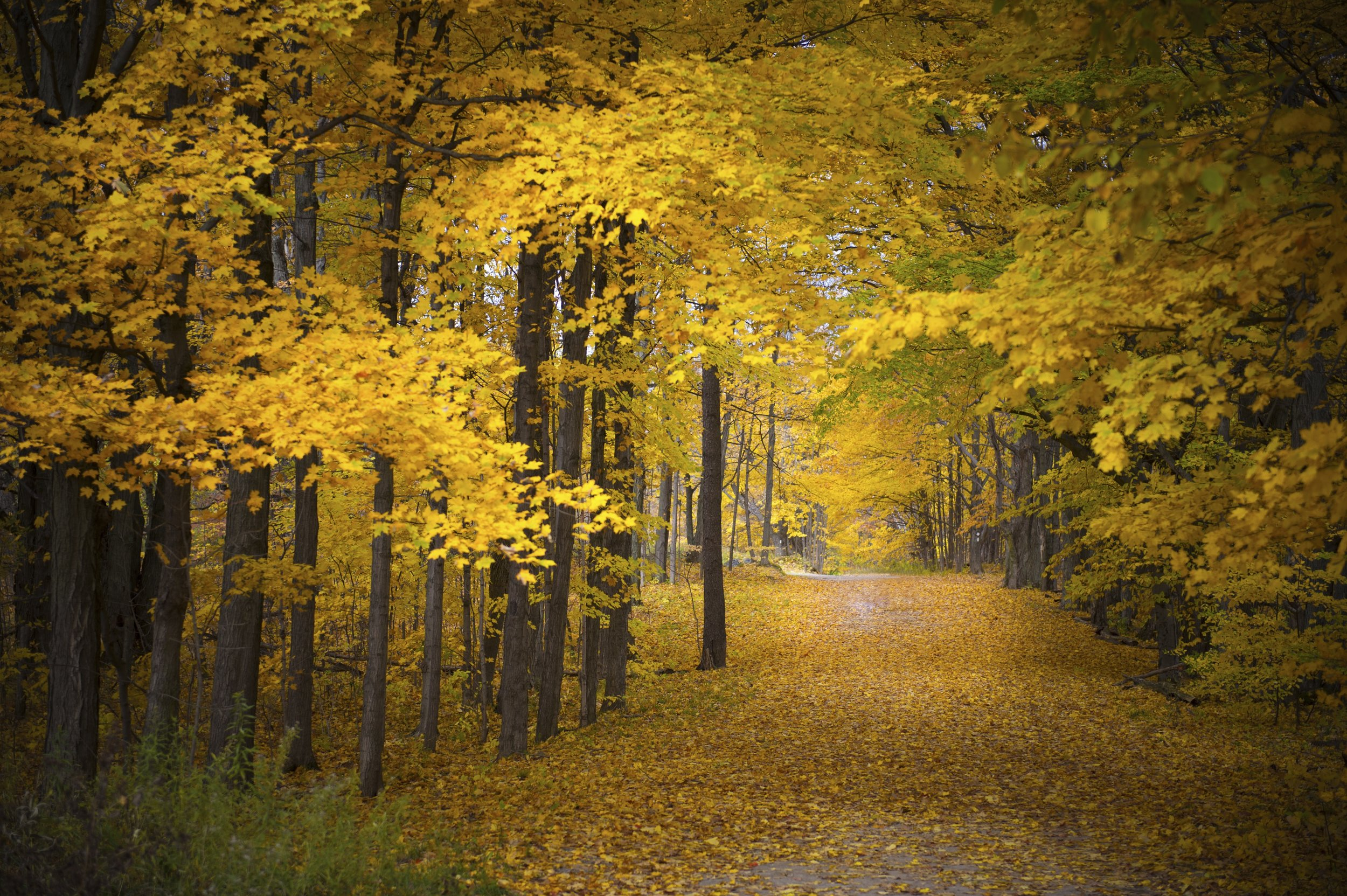 autumn road with yellow leaves covering road.jpg