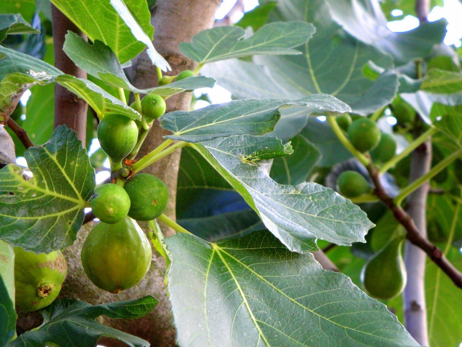 Figs outside our door at Antico Borgo di Sugame