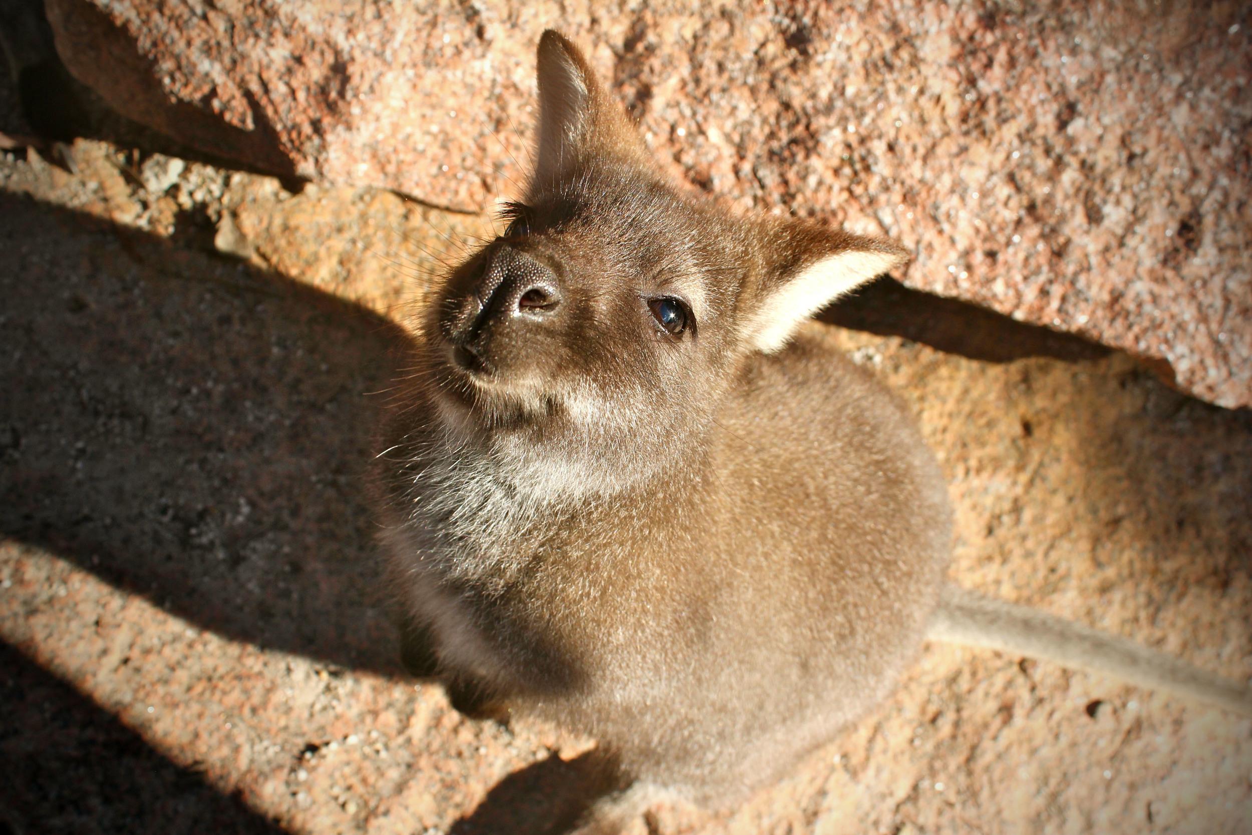 wild-wallaby-tasmania.jpg