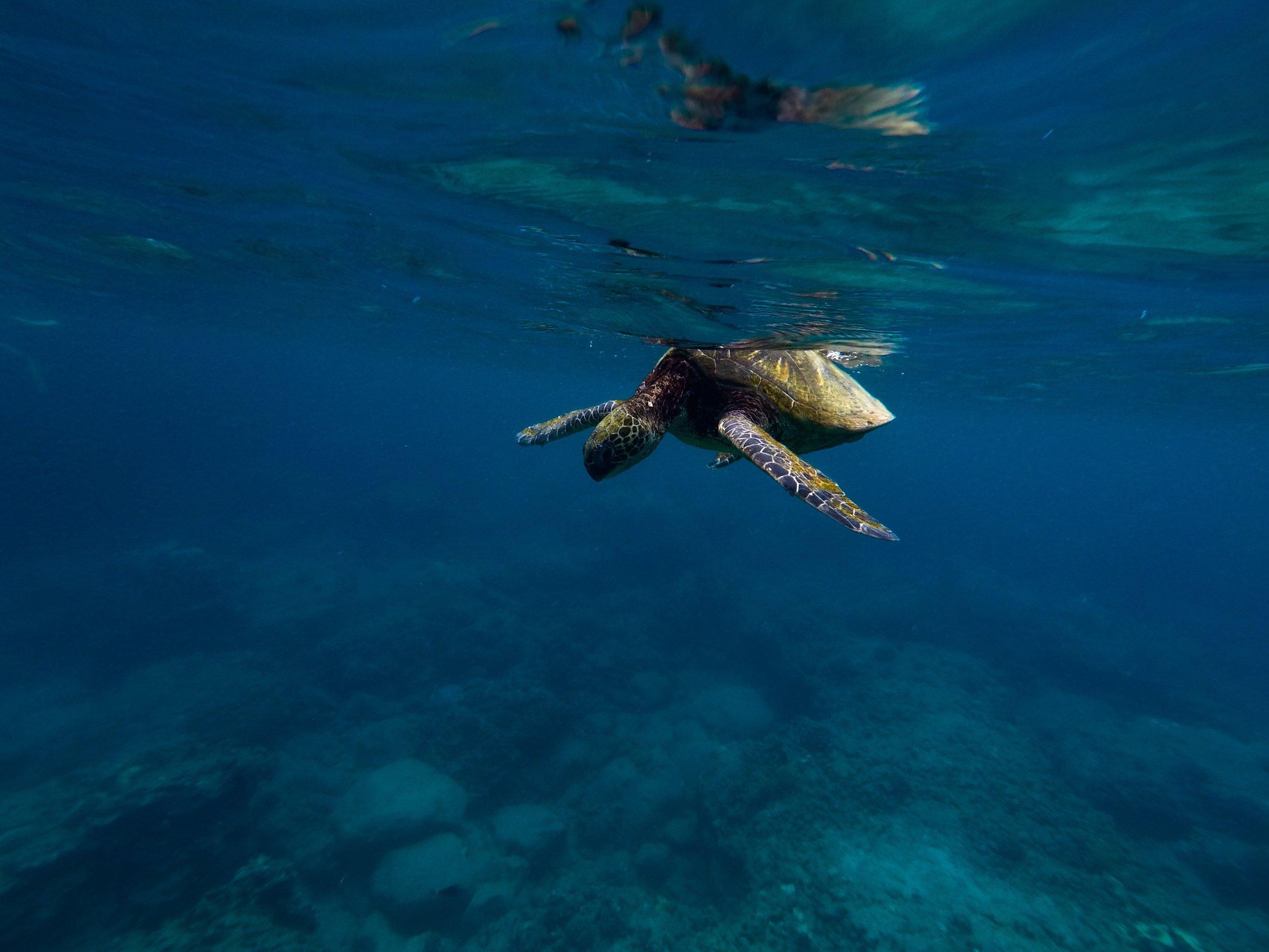 maui-sea-turtle-02.JPG