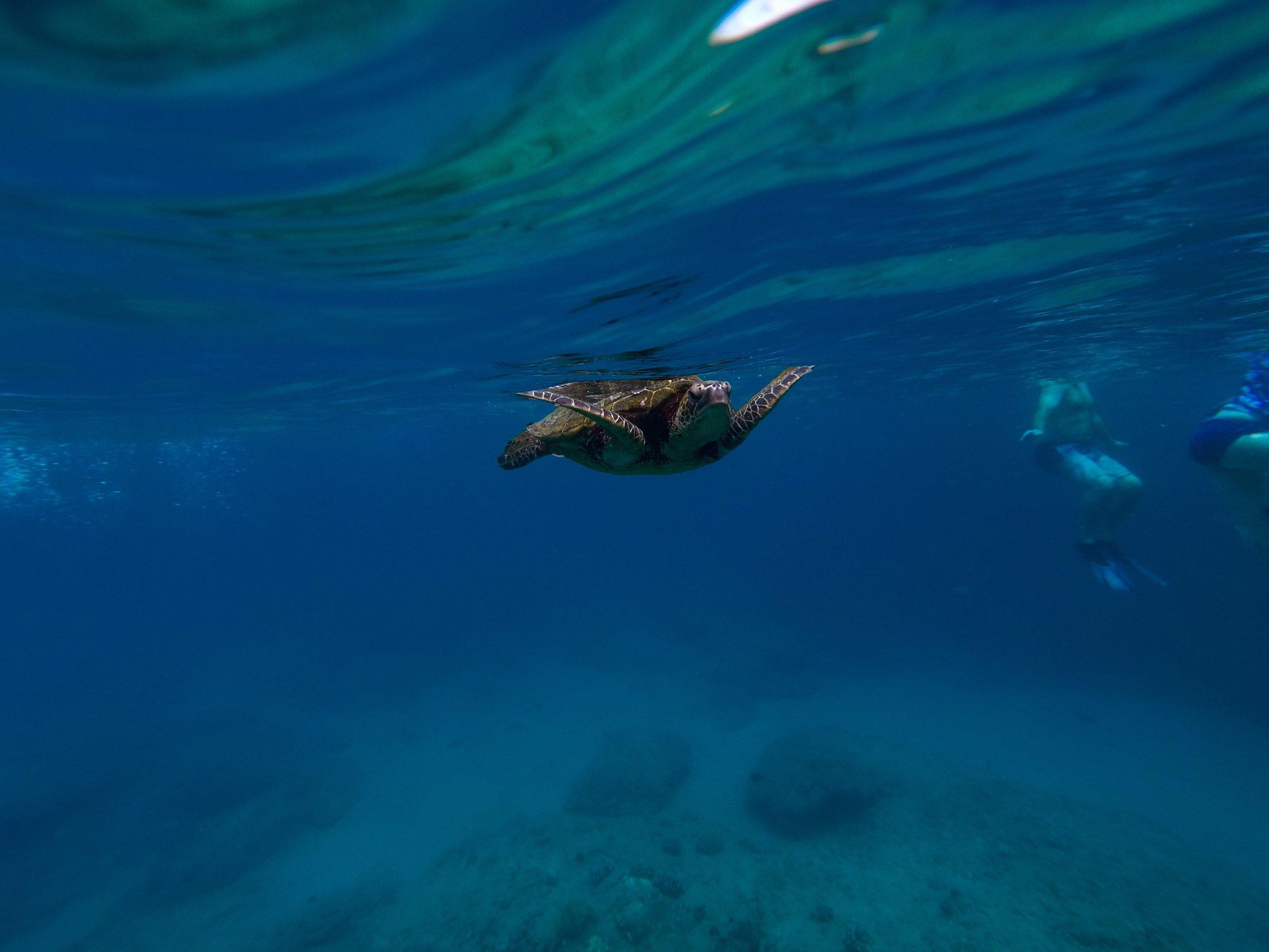 maui-sea-turtle.JPEG
