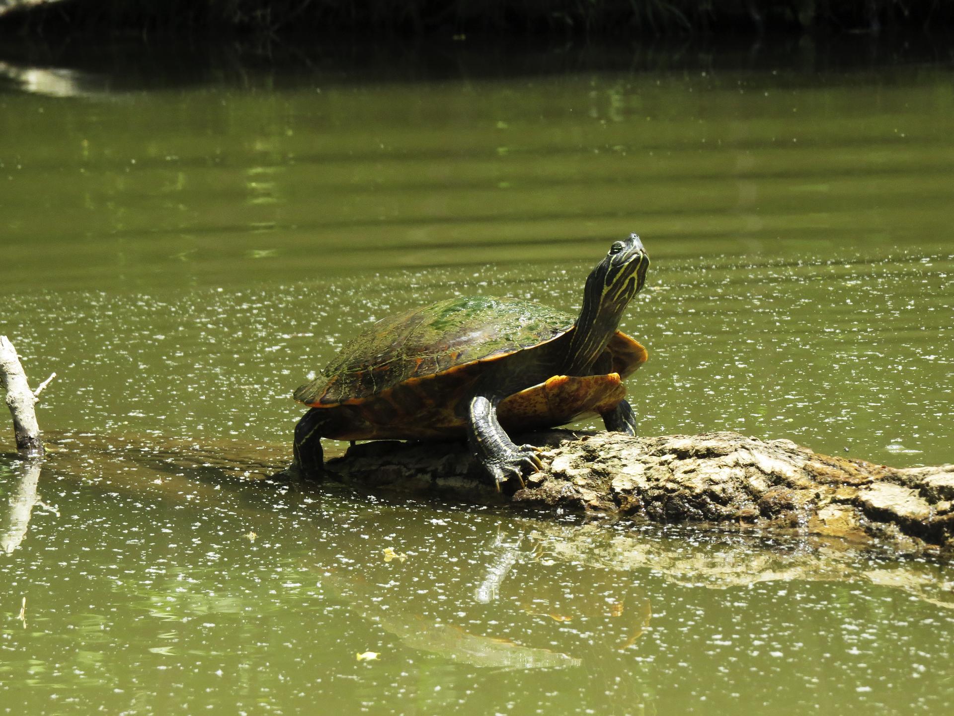 turtle water maryland nature animals