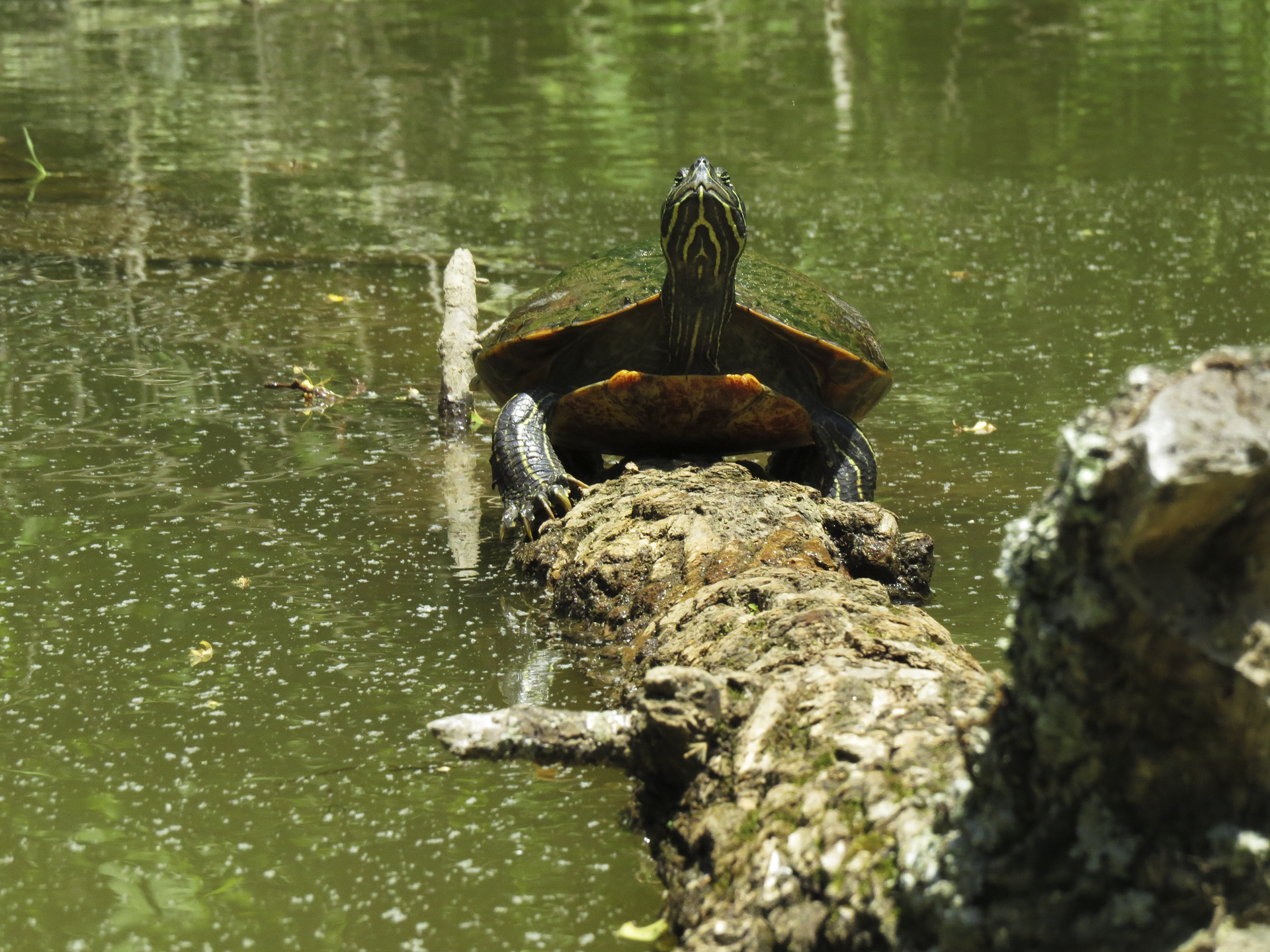 turtle maryland nature water outdoors