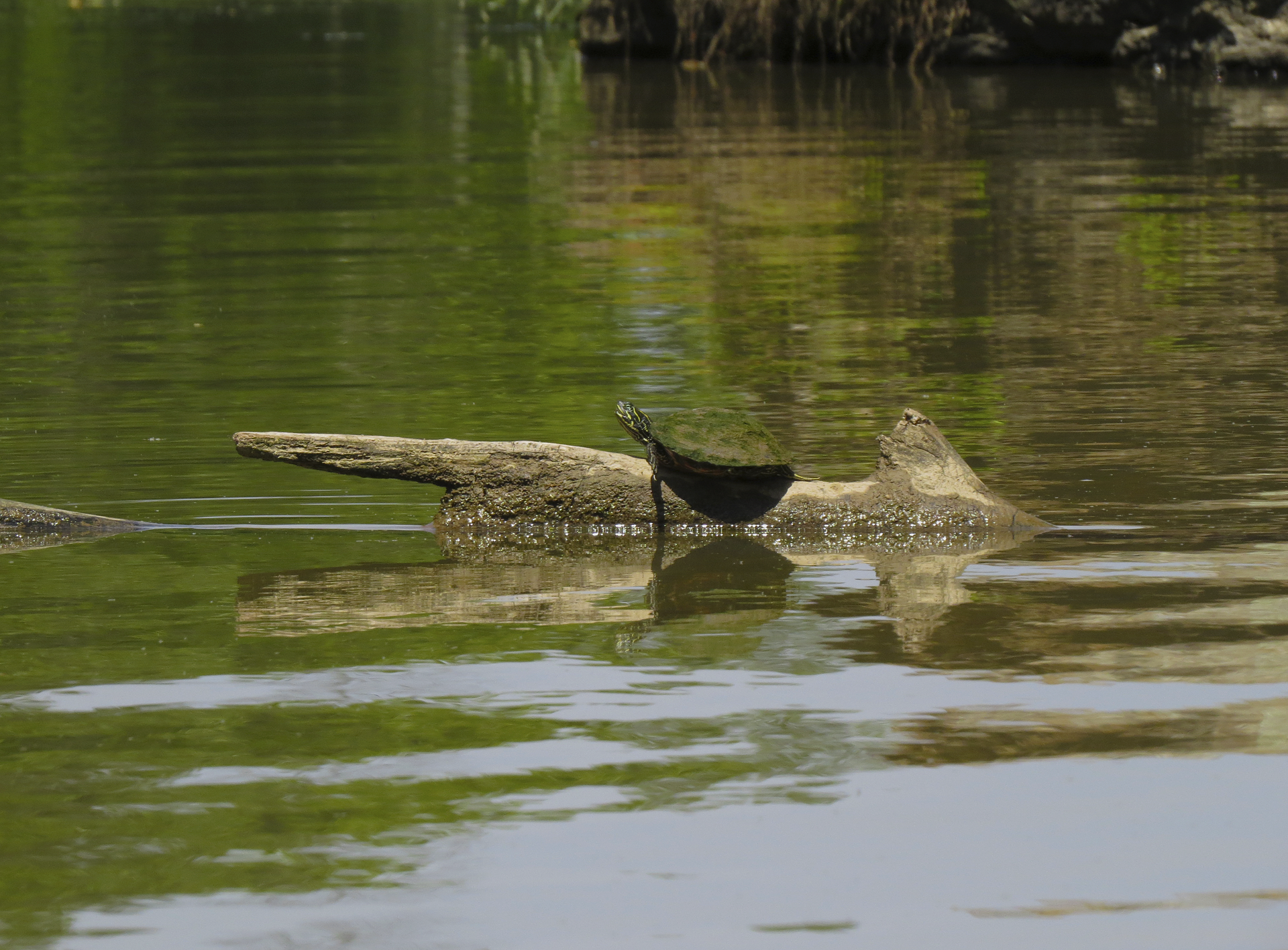 turtle maryland water c&o-Canal