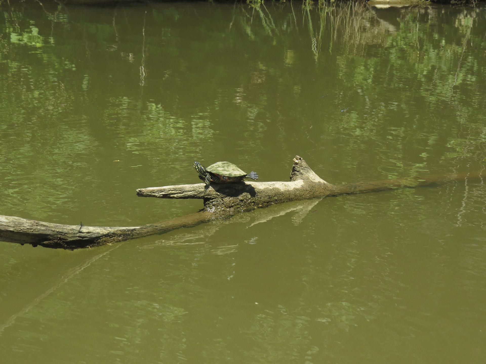 turtle-maryland-water-nature-outdoors-kayaking