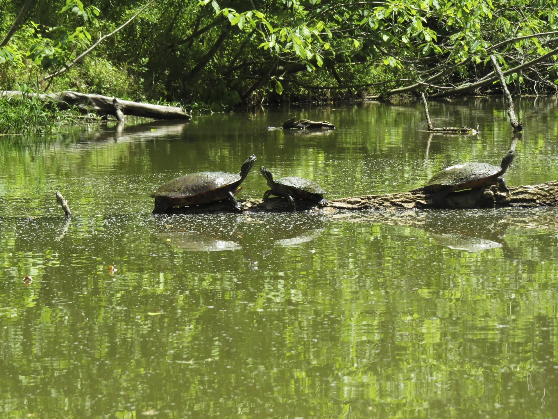 turtles-kayaking-maryland-water-nature-outdoors-c&o-canal-potomac-river