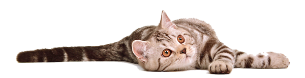 Cat-Transparent-Background.png