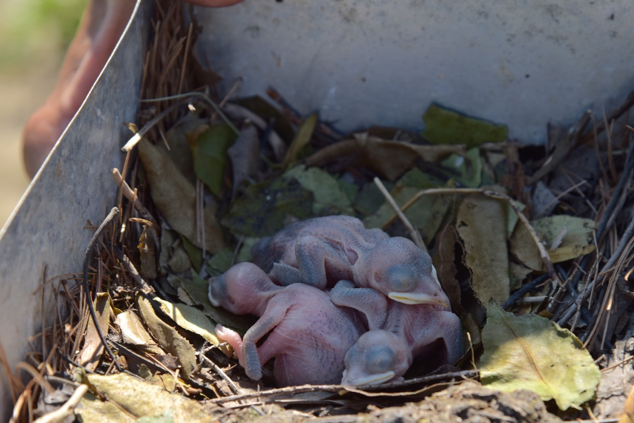 Baby Martins are called Nestlings