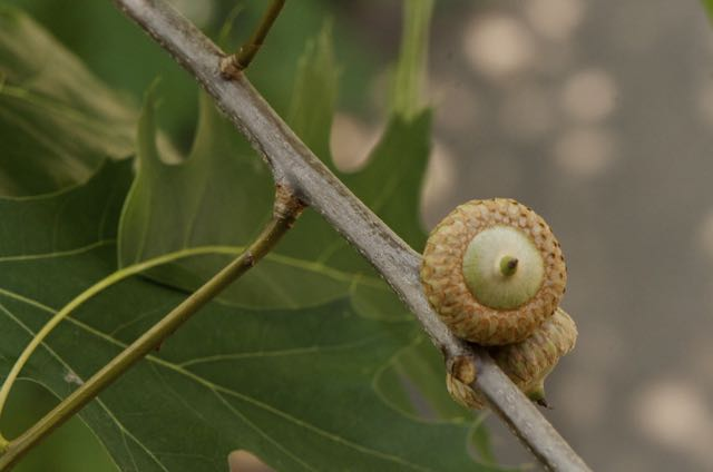 Mighty oaks from little acorns grow.....American Proverb