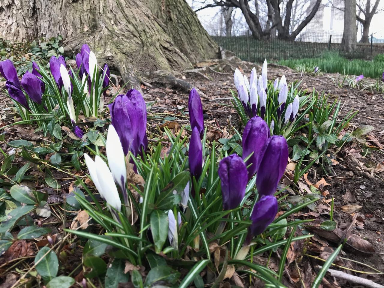 Crocus welcome spring temps