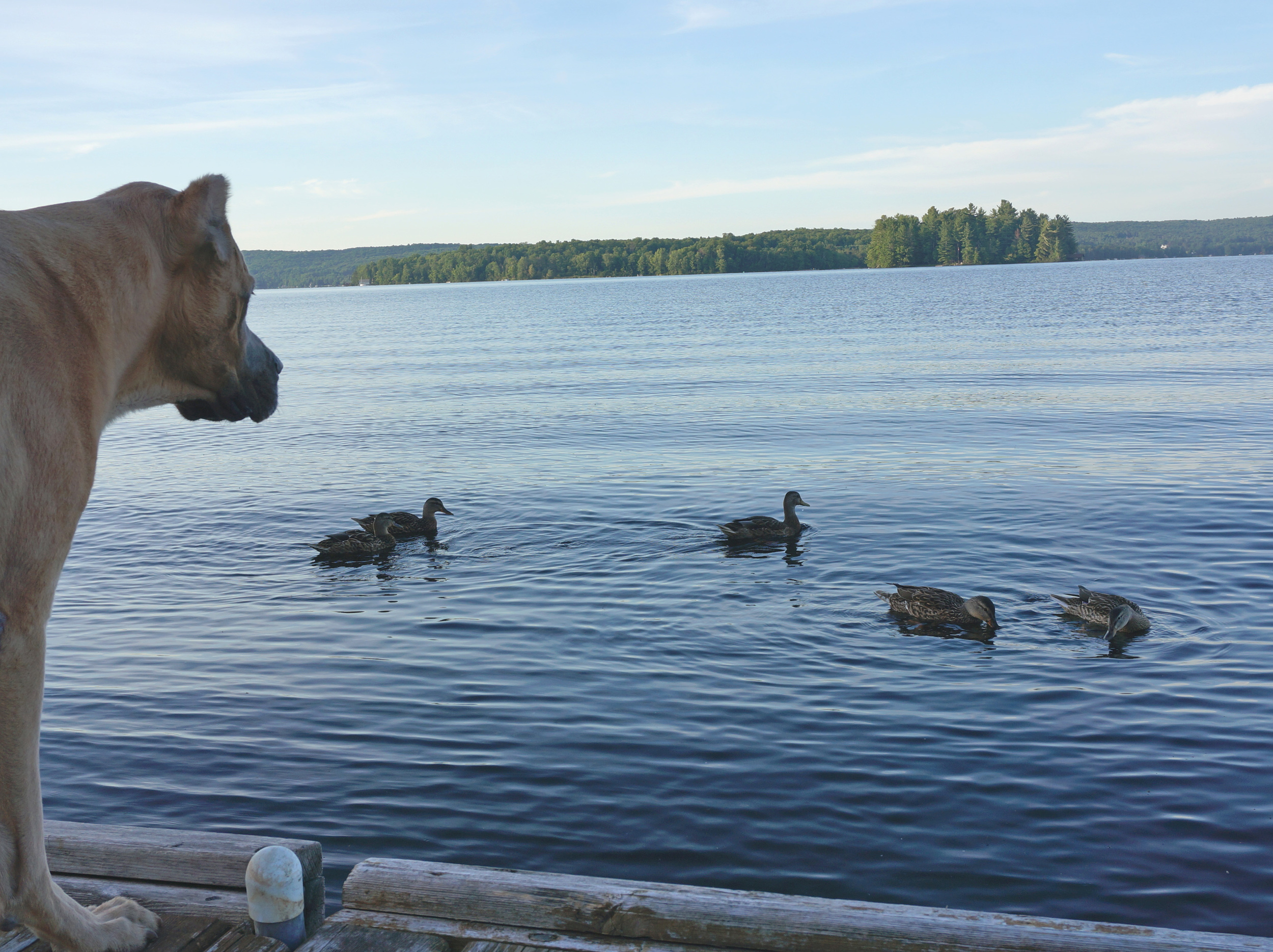 My dog and the duck family