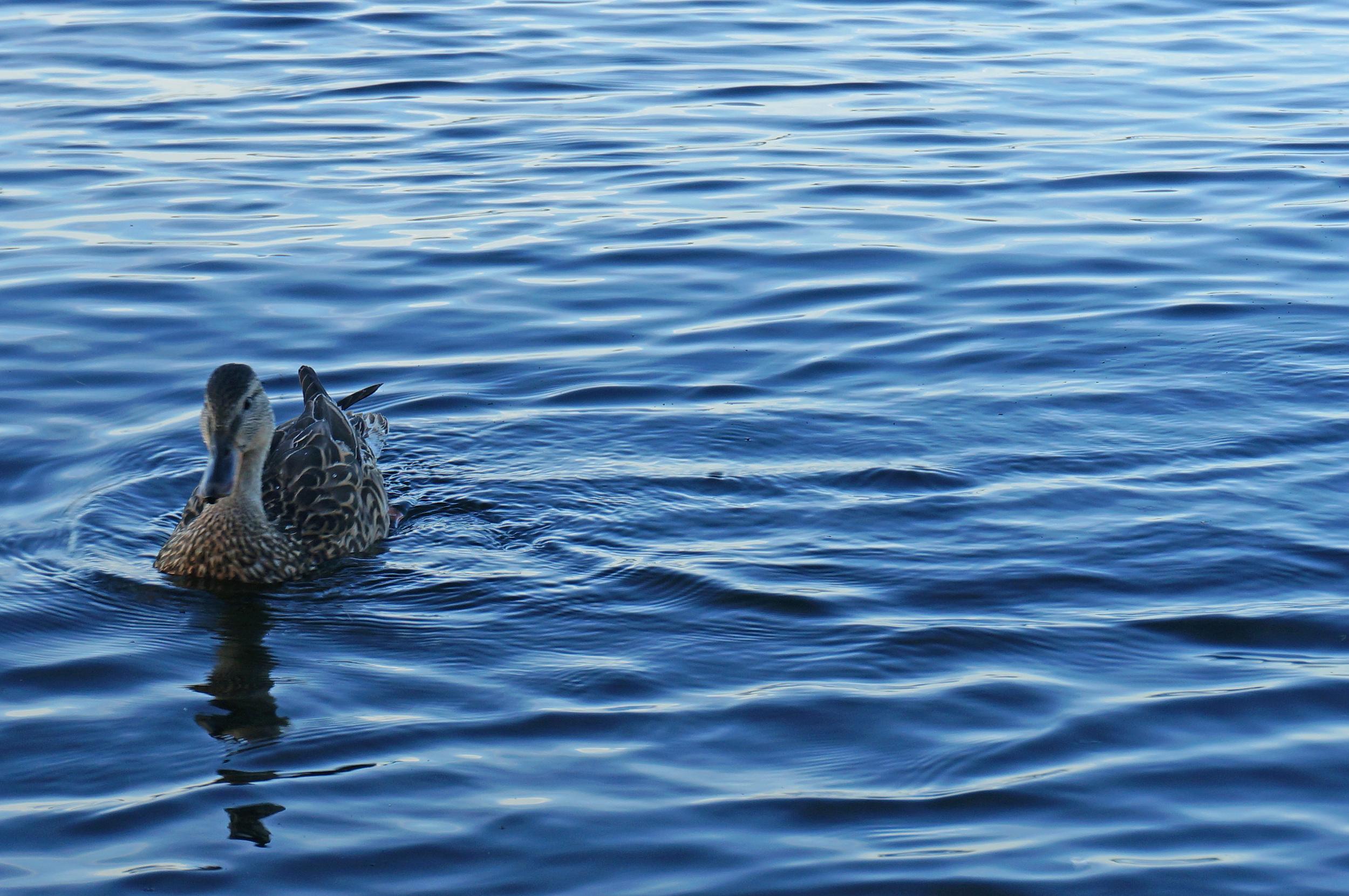 Duck on Penn Lake