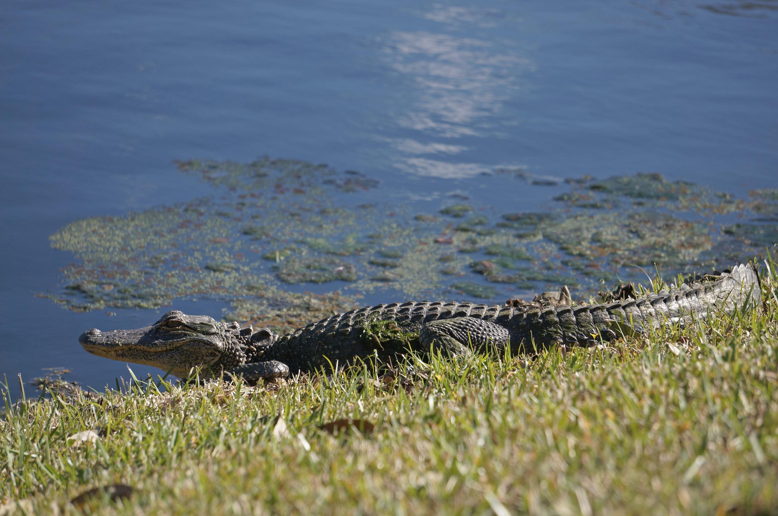 Florida, Alligator