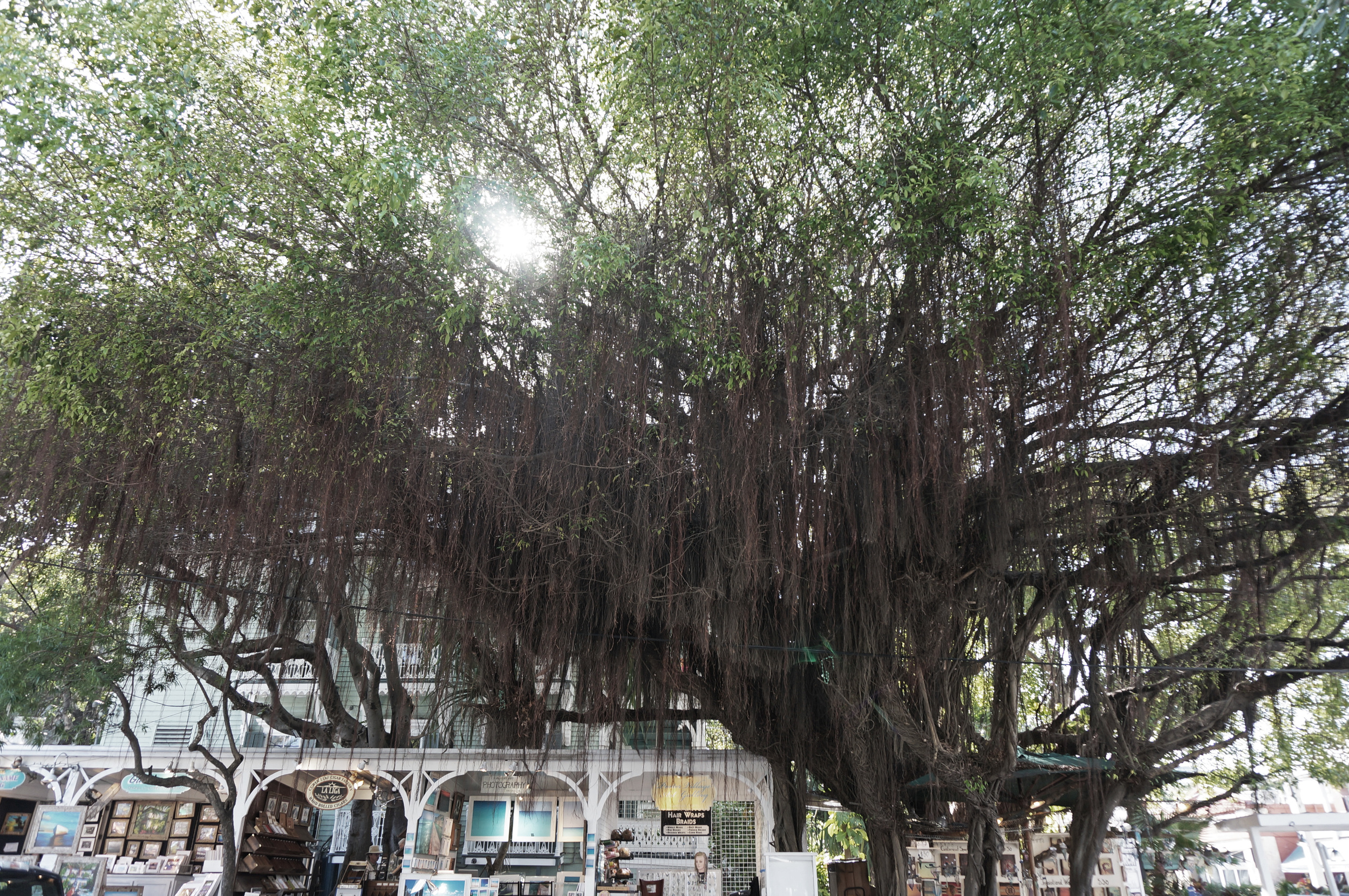 Trees of Key West
