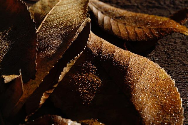 Out with the old. # #macro #canon5dmarkiii #macrophotography #100mm #igers #leaves #leaves #photography #photooftheday #photo #naturephotography #nature #naturelovers #indoorsman #canon #canon5d #canon5dmark3 #ignature #igersflorida #igersstaugustine #igersstaug #morningmotivation #morning  #newyear