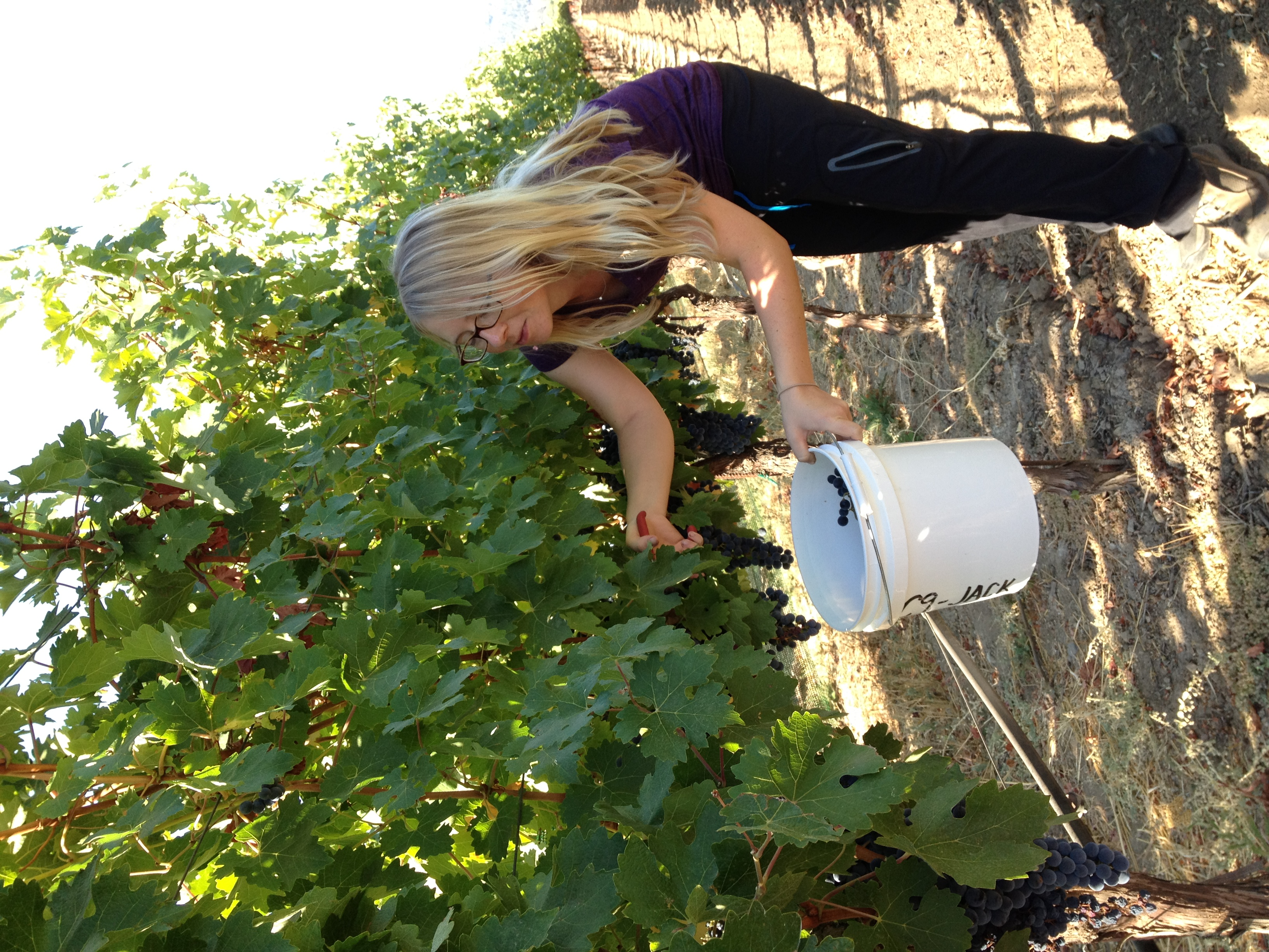 Alex on the vineyard taking grape samples to test for brix levels & pH balance